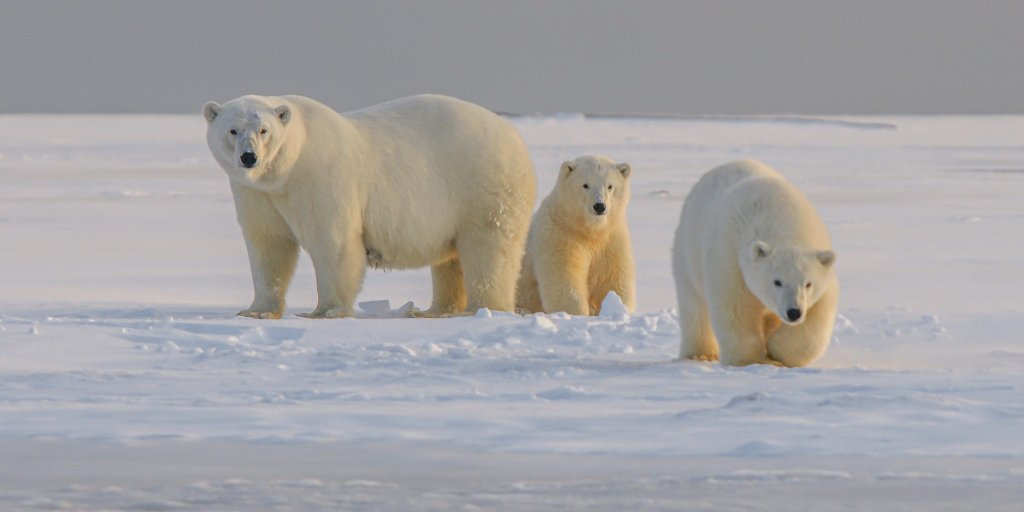 Polar bear mother with two cubs waiting on a snowy sandbank in northern Alaska for the see ice to come