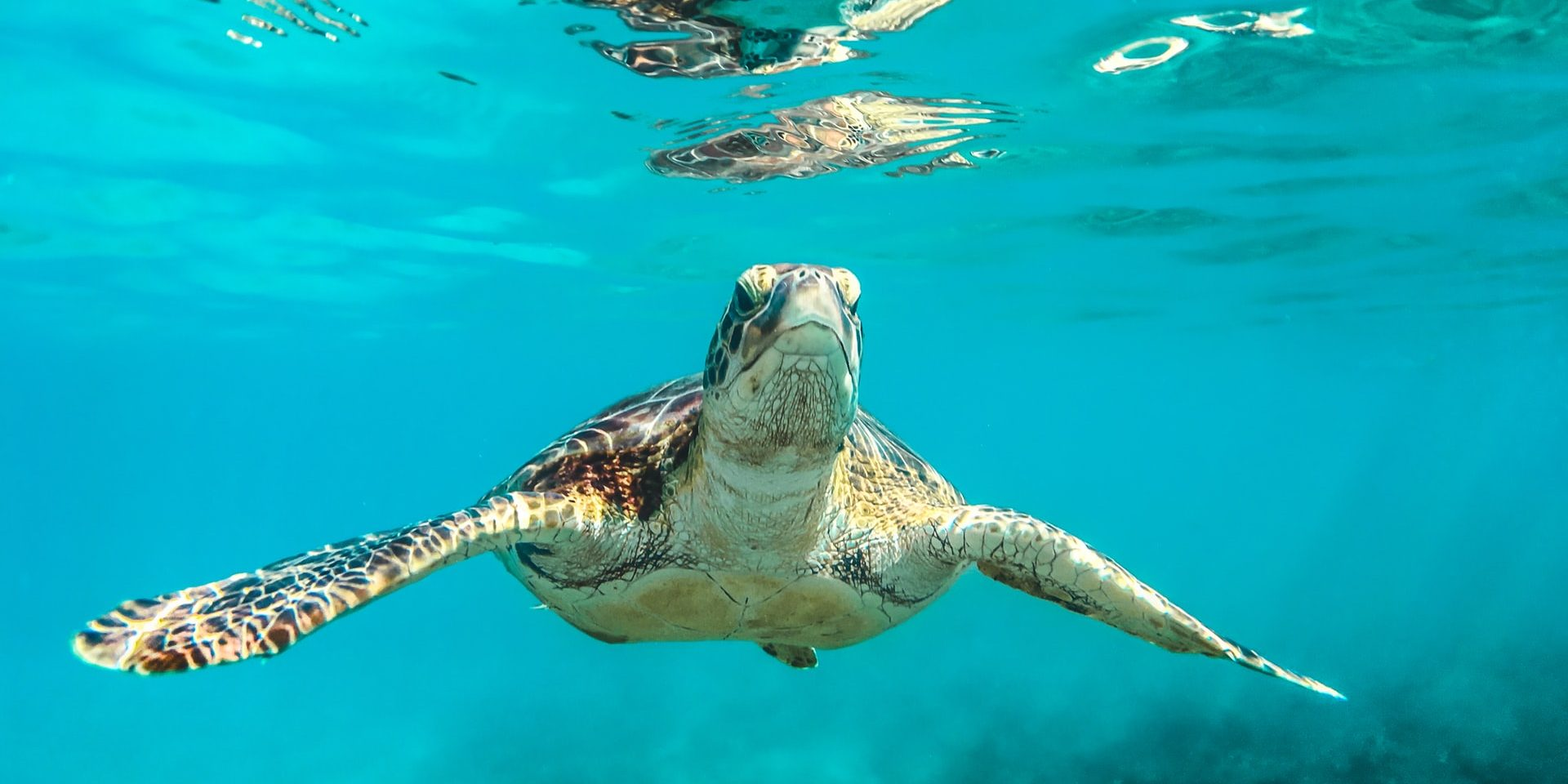 Turtle in the waters of Barbados