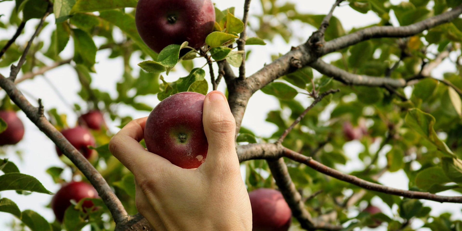 Hand picking fresh apples at an orchard