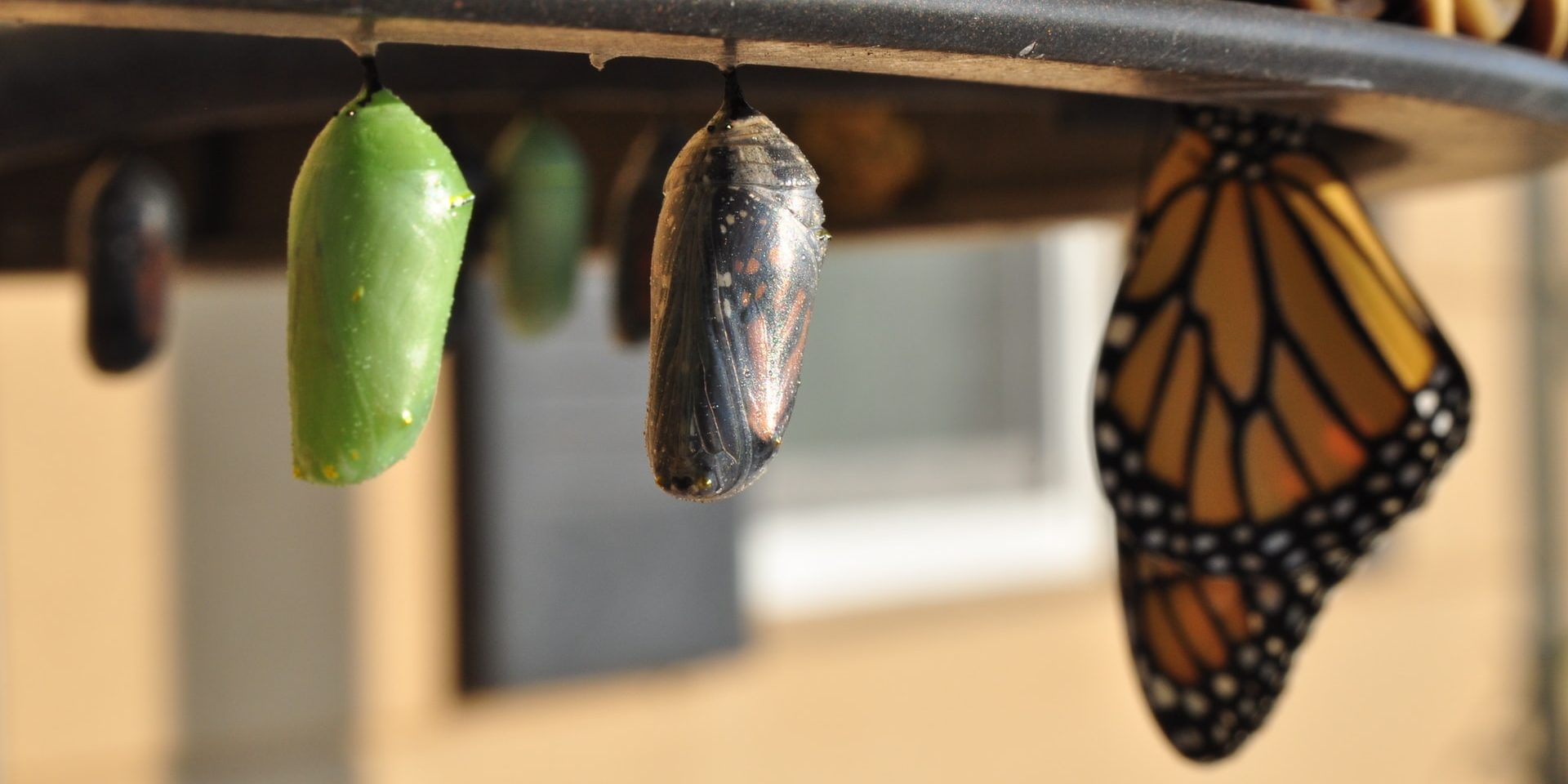 New green chrysalis coloration butterflies, one that's about ready to emerge, and a butterfly that's already come out