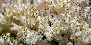 lichen growing in the Goblin Forest of Tasmania