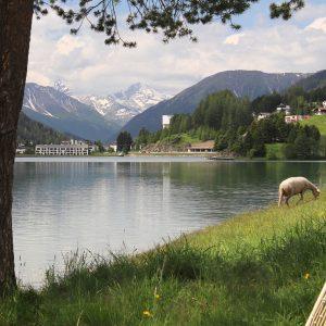 Sheep near Davos